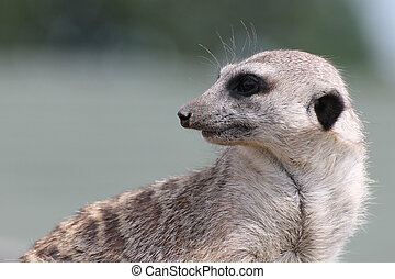 Suricate in the zoo on grey background