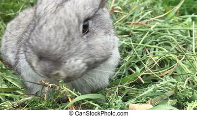 Grey small rabbit on a green meadow