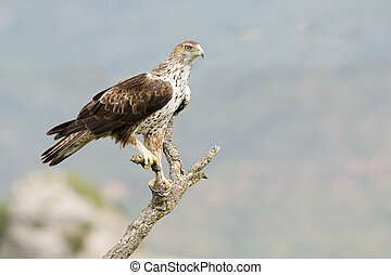 Bonellis Eagle Aquila fasciata perched on a branch