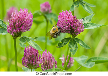 bee at red clover flower macro, selective focus, shallow DOF