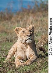 Lioness at Ngorongoro Crater - I lioness lies in the short...