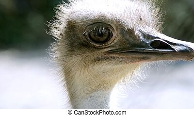 nice ostrich - ostrich face close-up