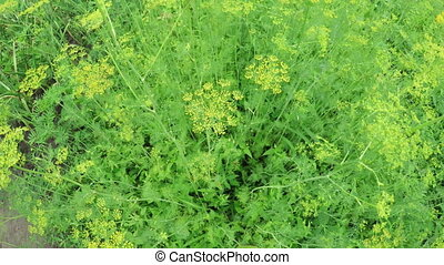 Flowering dill - In vegetable garden grow dill bushes