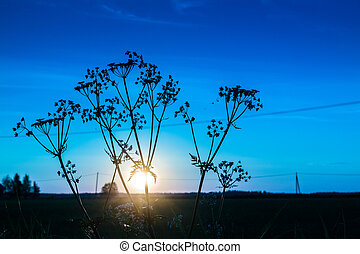 Cow Parsley And The Sunset - The sun sets behind the cow...