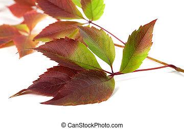 Multicolor autumn grapes leaves Parthenocissus quinquefolia...