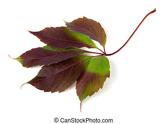 Multicolor autumn grapes leaf Parthenocissus quinquefolia...