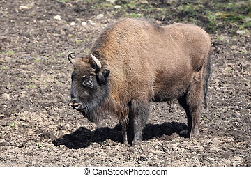 European Bison Bison bonasus - European Bison standing in...