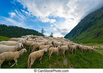 Transhumance of sheep in the mountains