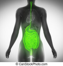 Female guts and stomach anatomy x-ray scan posterior view
