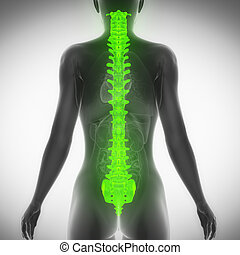 SPINE antomy female scan in x-ray posterior view