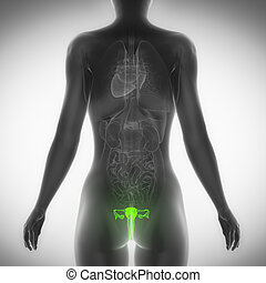 Female reproductive organ posterior view
