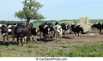Holstein cows - A small herd of Holstein dairy cows in a...