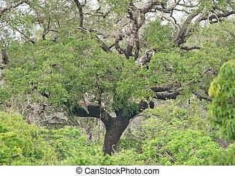 Leopard hideout in lush green jungle vegetation in Yala...