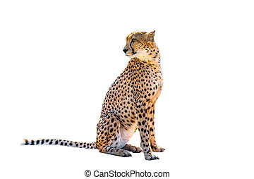 Cheetah sitting side view, on white background, isolated