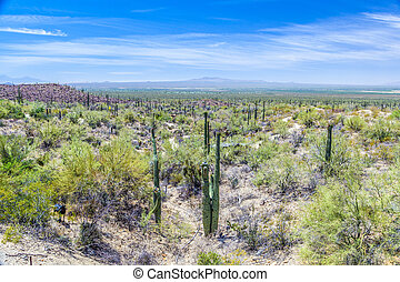 blooming cactus in the desert with blue sky - blooming...
