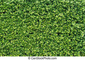 banyan green leaves wall
