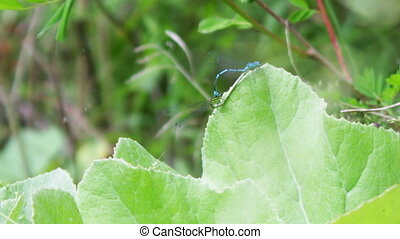 Two blue dragonflies mating on the green leaf - In the...