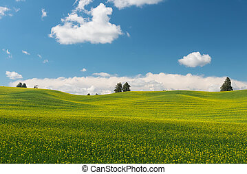 Canola - Rolling hills covered in canola flowers, Colfax,...