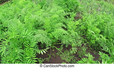 Sprouts carrots -  In garden green shoots of carrots