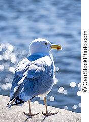 Herring gull in backlighting
