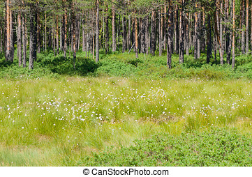 Cottongrass meadow and pine forest