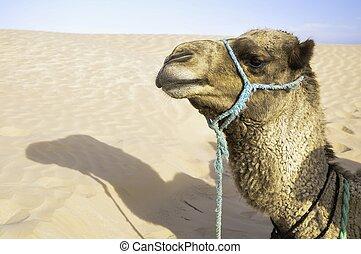 Camel - Photo desert camel resting after a long walk