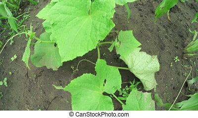 Garden bed cucumbers - In garden green Cultivating cucumbers...