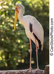 Yellow billed stork in the Bird Park - Yellow billed stork...