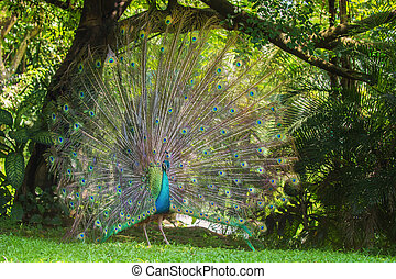 Portrait of beautiful peacock with feathers out, Kuala...