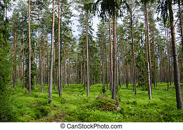 Colorful pine tree forest with vibrant green blueberry twigs...