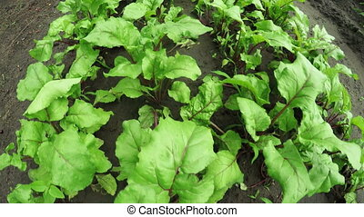 Garden bed beets -  In garden green Cultivating beets