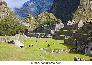 Llamas at Machu Picchu - Llamas grazing in the filed among...