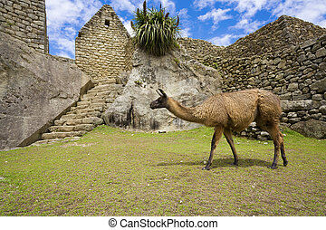 Llamas at Machu Picchu - Llama walking among old ruins at...