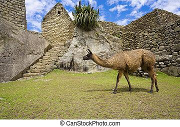 Llamas at Machu Picchu - Llama walking among old ruins at...