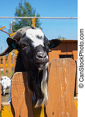 goat looks over the fence