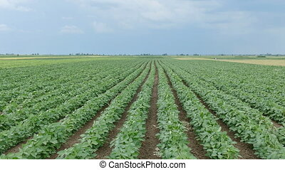 Agriculture, green soybean field - Agriculture, green...