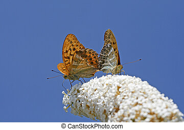 Argynnis paphia, Silver-washed Fritillary on Buddleja plant...