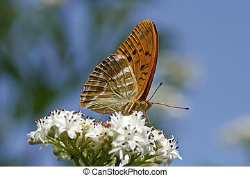 Argynnis paphia, Silver-washed Fritillary, rare butterfly in...