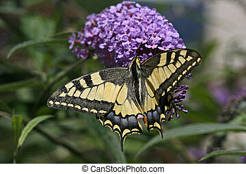 Papilio machaon, Old World Swallowtail