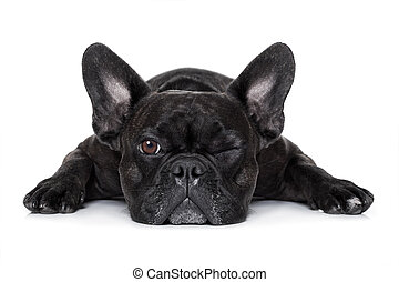 dog watching at you - french bulldog dog exhausted or tired...