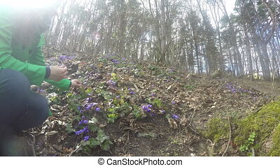 girl hepatica forest - blonde girl gather violet hepatica on...