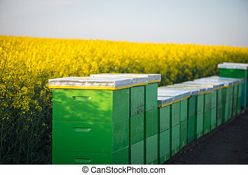 Hives on the field - Hives near the blooming rapeseed field...