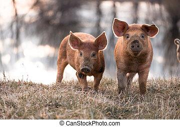 Cute mangalitsa pigs - Cute orange young mangalitsa (furry)...