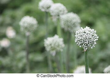 onion flower stalks - Close view of onion flower stalks