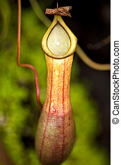 Carnivorous plant - Close up of a carnivorous plant in a...