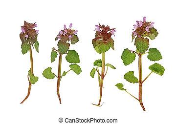 Pink deadnettle Wildflower - Pink Dead Nettle wild flower...