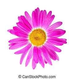 pink chamomile flower is isolated on white background,...