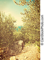 Green olives on the olive tree - vingage version - Photo of...