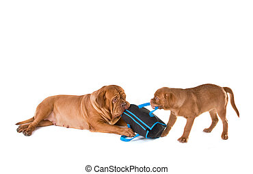 Dog shopping - Dogs competing over a shopping bag