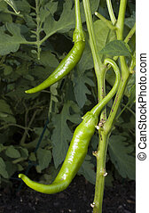Chili plant - Green chilies that are growing in the garden
